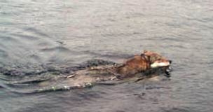 Simmande varg vid Vindön (i närheten av där jag har min sommarstuga)
